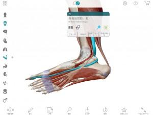 長拇趾屈筋足底